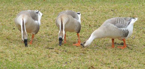 Three Feeding Canadian Geese