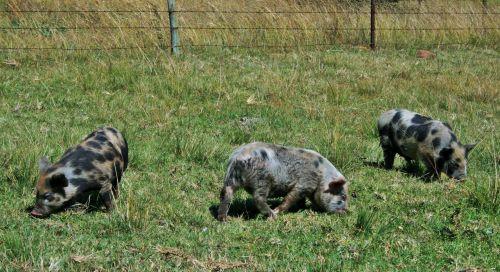 gyvūnai, ūkis, kiaulės, rožinis, ženklinimas, juoda, ganymas, trys mažos kiaulės
