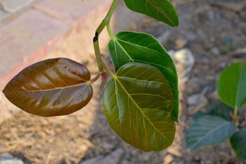 three shades of leaf leaves nascent leaf