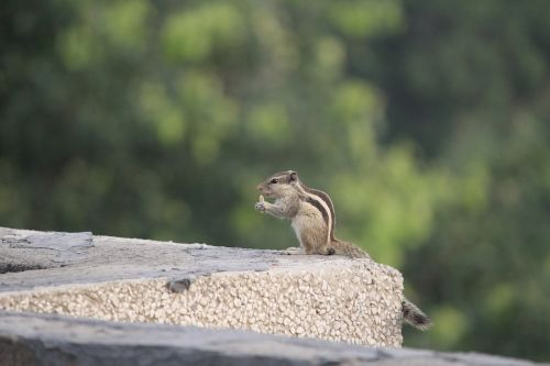 three-striped palm squirrel eating outdoor