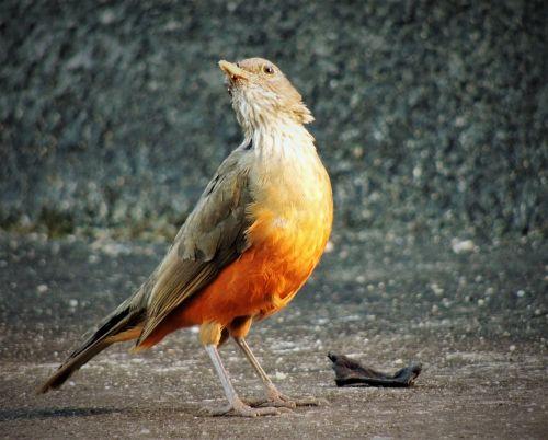 thrush orange tree tropical bird