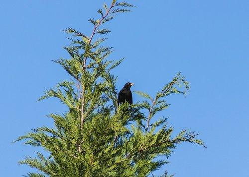thrush  blackbirds  beak