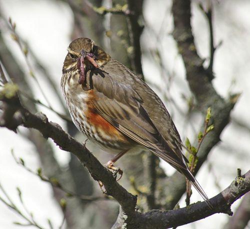 thrush bird spring
