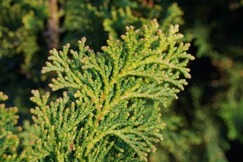 thuja plant nature
