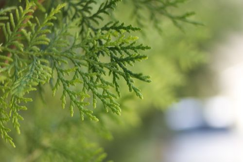 thuja conifer trees