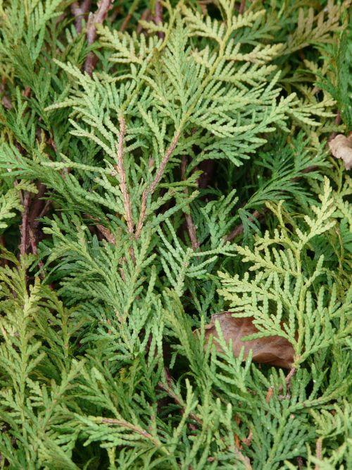 thuja thuja lebensbaum thuja occidentalis