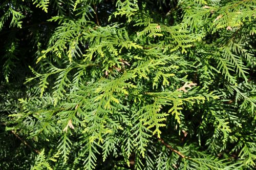 thuja sunlight branch