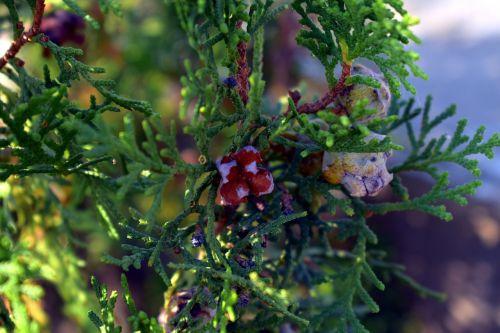 thuja buds thuja plant arborvitaes