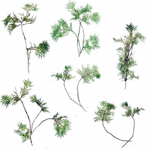 Thuja Plant Twigs 1