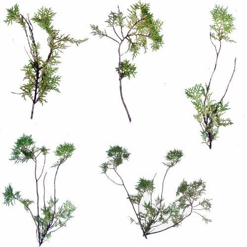 Thuja Plant Twigs 2