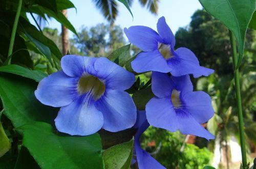 thunbergia grandiflora bengal clock vine bengal trumpet vine