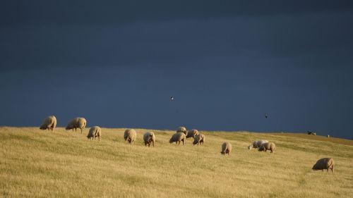 thunderstorm dike sheep sheep