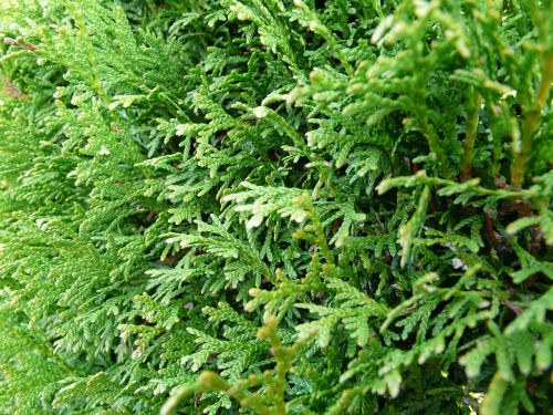 thuya hedge tree of life thuja