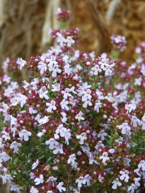thyme farigola flowery