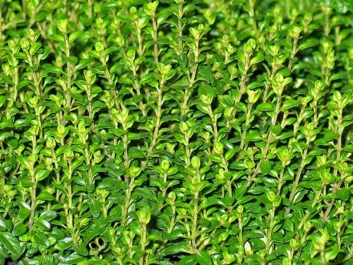 thyme herbs wild herbs