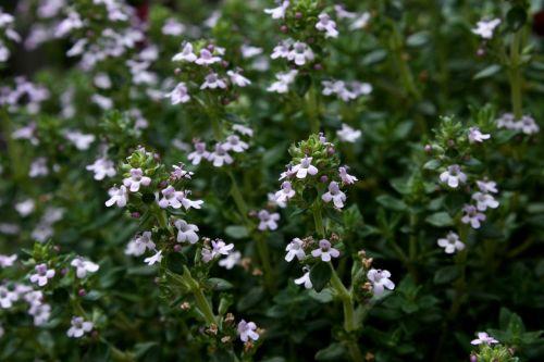 thyme garden plant