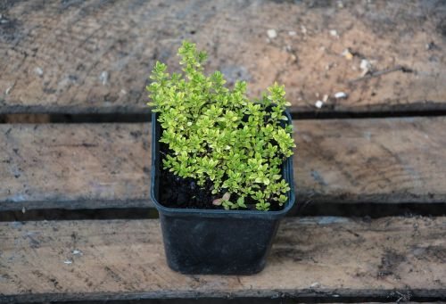 thyme plants nature