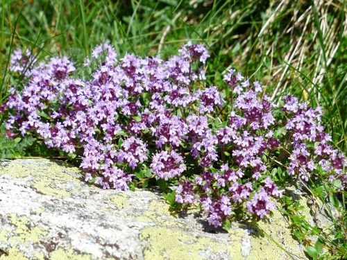 thyme blossom bloom