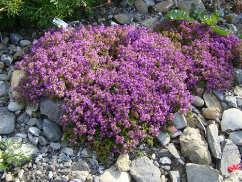 thyme plant flowers