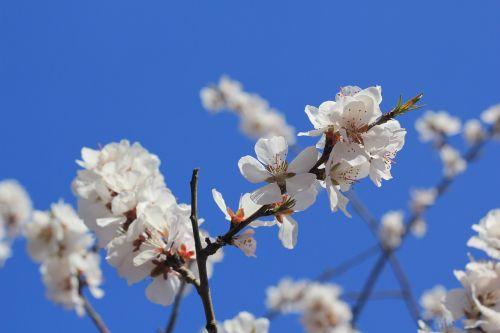tianjin hongqiao peach blossom peach embankment
