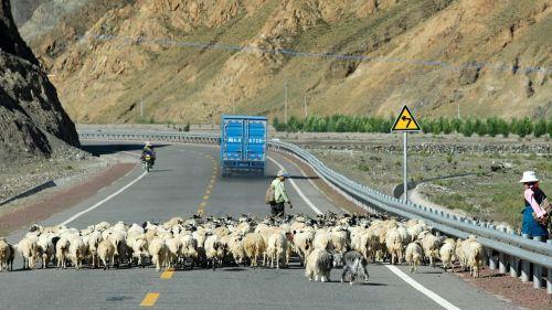 tibet goats road