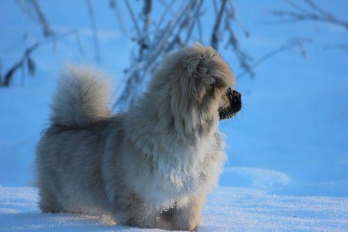 tibetan spaniel puppy winter
