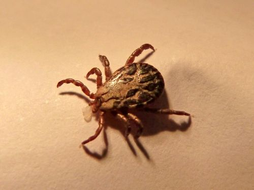 tick mite insect