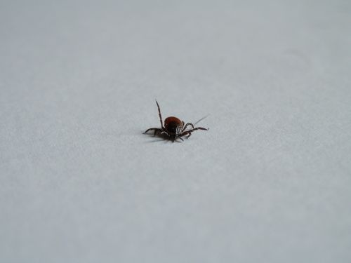 tick parasite disease