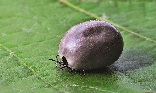 tick lyme disease mites