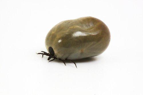 tick  lyme disease  bite