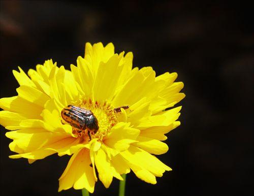 Tickseed Wildflower And Beetle
