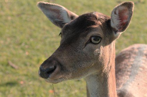 tierportait roe deer fallow deer