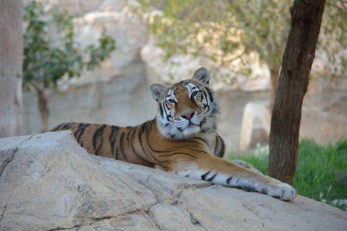 tiger animal feline