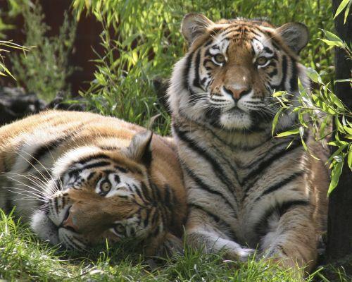 tigers carnivore nature