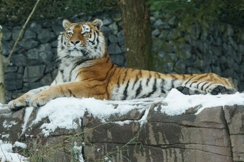 tiger amurtiger cat