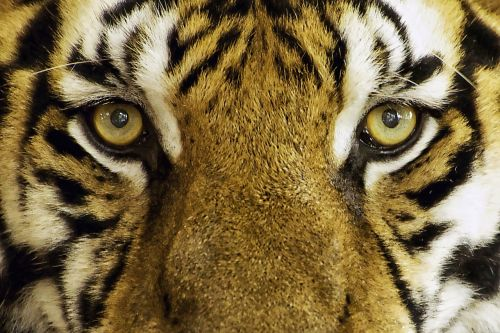 tiger feline wild