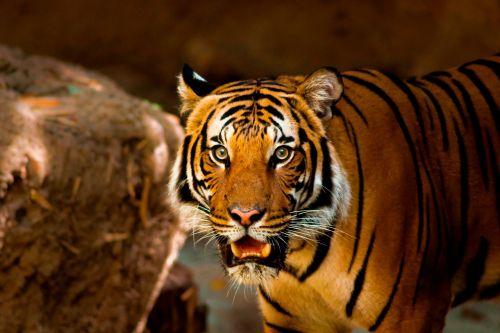 tiger animal nature