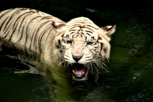 tiger zoo wildlife