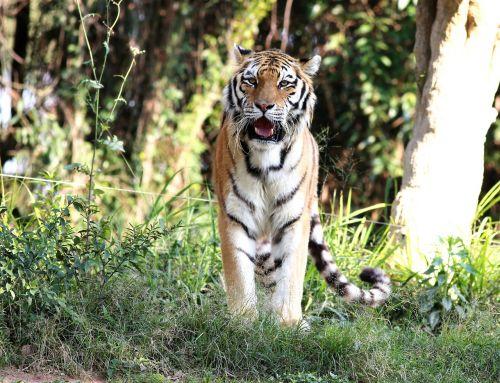 tiger siberian wild