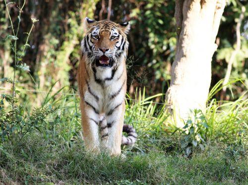 tiger wild looking