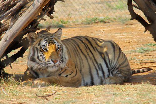 tiger predator world pilanesberg national park