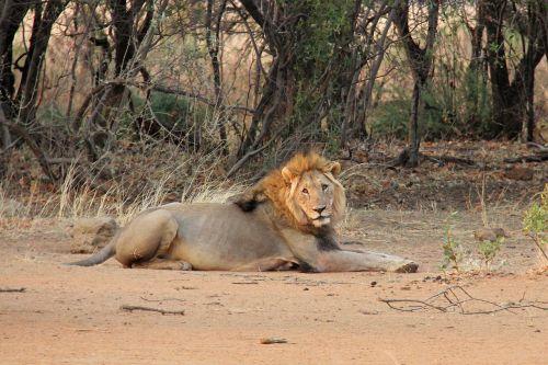 lion resting sunrise