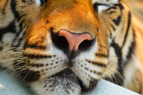 tiger cat animal