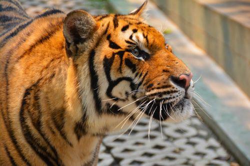 tiger cat dangerous