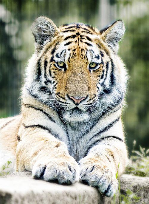 tiger siberian tiger cat