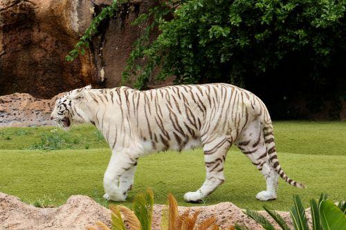 tiger white tiger feral cat