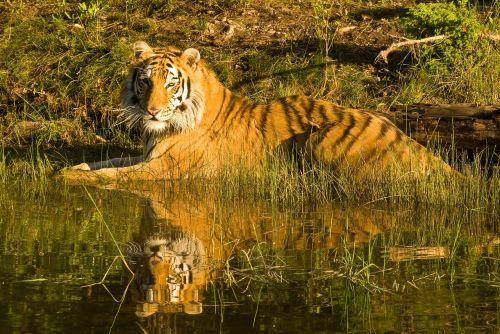 tiger siberian tiger tiger reflection