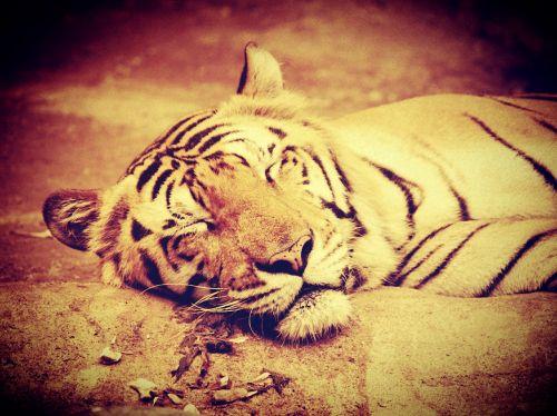 tiger india animal