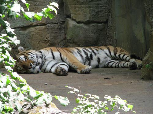 tiger sleep rest