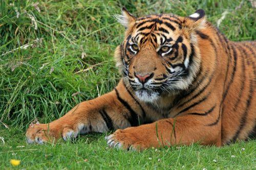 tiger sumatran sumatran tiger